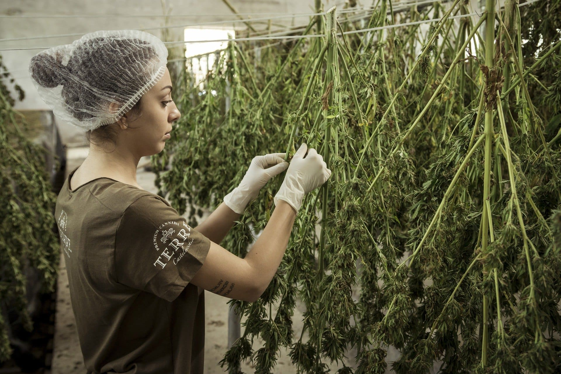 大麻を採集する人
